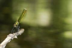 Libélula (splendens de Calopteryx) en Villarcayo, Burgos, España fotos de archivo