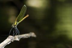 Libélula (splendens de Calopteryx) en Villarcayo, Burgos, España foto de archivo