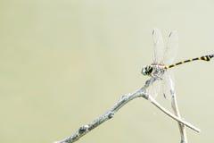 A libélula travou em um ramo acima da superfície da água Fotos de Stock