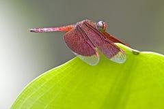 Libélula tropical da floresta húmida Fotos de Stock