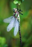 Libélula verde Fotografía de archivo libre de regalías