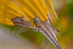 Libélula verde de Marsh Hawk, Orthetrum Sabina Fotos de Stock Royalty Free