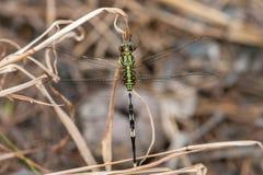 Libélula verde de Marsh Hawk, Orthetrum Sabina Fotografia de Stock Royalty Free