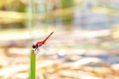 Libélula vermelha Imagens de Stock