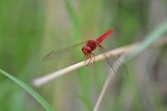 Libélula vermelha Fotografia de Stock