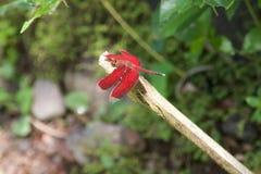 Libélula vermelha de Grasshawk, parasol comum, homem Imagem de Stock Royalty Free