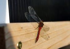 Libélula vermelha em uma placa de madeira fotografia de stock royalty free