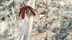 Libélula vermelha, vara da libélula na haste fotografia de stock