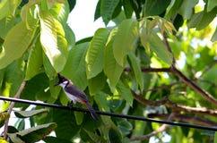 libélula Vermelho-com suíças da posse do pássaro do bulbul na boca no jardim fotos de stock royalty free