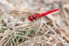 Libélula Vermelho-veada de Dropwing Imagem de Stock Royalty Free
