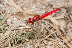 Libélula Vermelho-veada de Dropwing Imagem de Stock