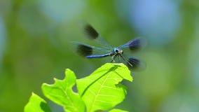 A libélula voa e voa longe da folha video estoque