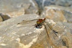 Libélula y mosca. Fotos de archivo libres de regalías