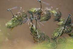 libélulas Foto de archivo libre de regalías