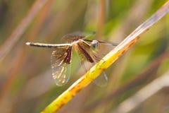 libélulas Fotografia de Stock