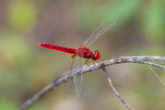 libélulas Fotos de Stock