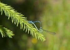 libélulas Foto de Stock