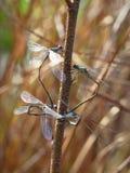 libélulas Imagens de Stock