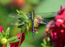 libélulas Foto de archivo