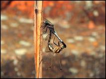 libélulas Imágenes de archivo libres de regalías