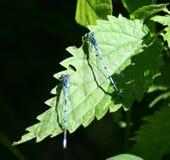 libélulas Fotos de Stock Royalty Free