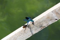 libélulas Imagen de archivo