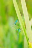 Libélulas del azul de los pares Fotografía de archivo libre de regalías