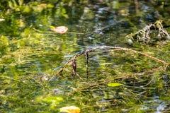 Libélulas del bebé en rama en un lago Foto de archivo