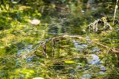 Libélulas del bebé en rama en un lago Imagenes de archivo
