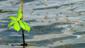 Libélulas del bebé en rama en un lago metrajes