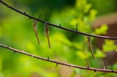 Libélulas douradas em um ramo de árvore inoperante Imagens de Stock