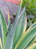 libélulas encaramadas en el dicactus Fotografía de archivo libre de regalías