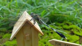 Libélulas, uma das famílias dos insetos que vivem geralmente em climas tropicais fotos de stock