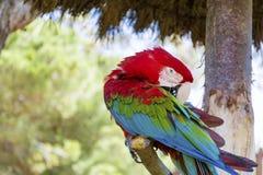 Libérez le perroquet rouge d'ara se reposant sur un arbre en parc Image stock