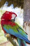 Libérez le perroquet rouge d'ara se reposant sur un arbre en parc Images stock