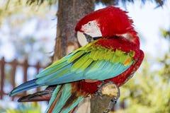 Libérez le perroquet rouge d'ara se reposant sur un arbre en parc Photo stock