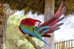 Libérez le perroquet rouge d'ara se reposant sur un arbre en parc Image libre de droits