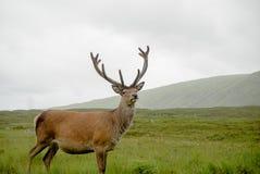 Libérez les cerfs communs sauvages avec les montagnes des montagnes en Ecosse comme fond Image stock