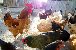 Libérez les poulets d'intervalle photos libres de droits