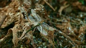 A lib?lula vibra suas asas que sentam-se em um ramo seco velho filme