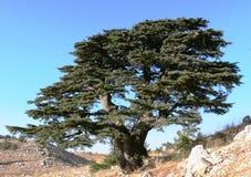 Libański ceder. zdjęcie stock