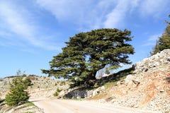 Liban cedr Obrazy Royalty Free
