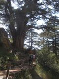 Liban cedry, turysty spacer Wśród cedrów obrazy royalty free