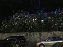 Libanais Jasmine Tree Image stock