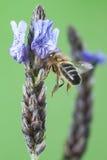 Libando una Flor de lavanda di vuelo dell'en di Abeja Fotografie Stock Libere da Diritti