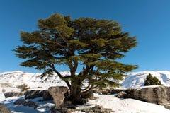 Libani Cedrus Стоковое Изображение