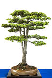 Libanon cedar as bonsai tree Royalty Free Stock Photos