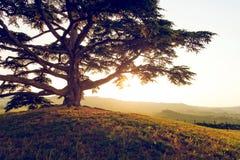 Libanon cederträ Arkivbild