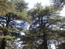 Libanon, Lang Libanees Cedar Trees royalty-vrije stock afbeelding