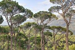 Libanon pinjeskog på Jezzine (HDR) Arkivbild